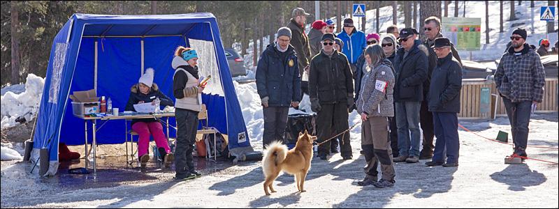 Suomenpystykorvanartun arvostelua Kemijärven näyttelyssä © Eero Niku-Paavo